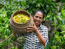 The woman bears a basket with the Ylang-ylang. Stock Images