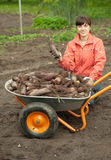 Woman with beetroot harvest. Young woman with beetroot harvest in field Royalty Free Stock Photography