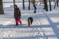Woman with big dog Sennenhund Berne walking in snowy winter park in Dnepr city Royalty Free Stock Images