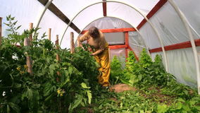Woman bind high tomato bush to sticks in glasshouse Stock Photography