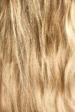 Woman blond and goldish hair Royalty Free Stock Photography