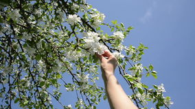 Woman bloom apple tree Royalty Free Stock Photo