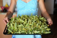 Woman in blue holding tray of dried linden flowers Royalty Free Stock Photography