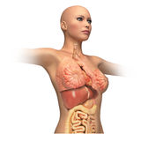 Woman body trunk, with interior organs superimposed. Royalty Free Stock Image