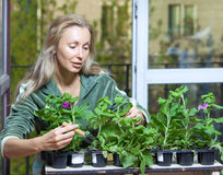 Woman and box with petunia flowers seedling, focus in the foreground Stock Images
