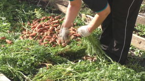 The woman breaks a tops of vegetable from carrots stock video footage