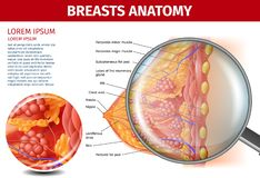 Woman Breasts Anatomy. Cross Section Aid Banner. Woman Breasts Anatomy. Cross Section and Magnifier Glass View of Female Breast with all Important Named Parts vector illustration
