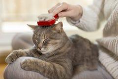 Woman brushing cat pet Royalty Free Stock Images