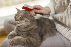 Woman brushing a cat. Tabby cat lying in her owner`s lap and enjoying while being brushed and combed. Selective focus Stock Photos