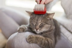 Woman brushing the cat. Tabby cat lying in her owner`s lap and enjoying while being brushed and combed. Selective focus royalty free stock photo