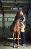 Woman Brushing Her Chestnut Horse in the Stables Royalty Free Stock Photos