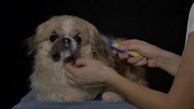 Woman brushing her dog stock footage
