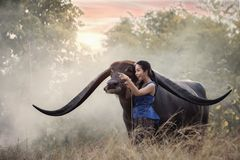 Woman with Buffalo in thailand Stock Photos