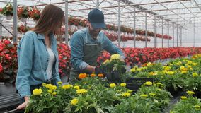 Woman Buying Flowers in a Sunlit Garden Shop. 4K. Young woman shopping for decorative plants on a sunny floristic. Greenhouse market. Home and Garden concept stock footage
