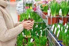 Woman buys narcissus flowers in pot at store Stock Image