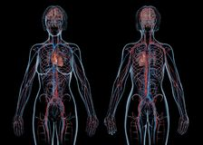 Woman cardiovascular system, rear and front views stock photos