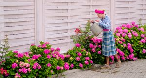 Woman care of flowers in garden. hydrangea. Spring and summer. Flower care and watering. soils and fertilizers. happy. Woman gardener with flowers. Greenhouse stock photography