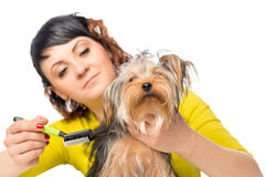 Woman care of the hair beloved  terrier Royalty Free Stock Image