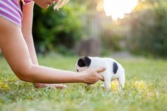 Woman care about jack russell terrier puppy. In garden stock photography