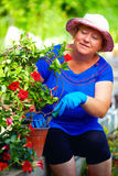 Woman Cares For Blooming Dipladenia Plant In Garden Stock Photos