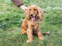 The woman caress a dog breed of cocker spaniel that sits on the grass_ stock image