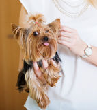 Woman caressing charming Yorkie terrier pet Royalty Free Stock Photos