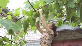 Woman caring for grapes. A young woman caring for grapes in the yard stock footage
