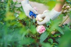 A woman caring for a rose garden Stock Photos