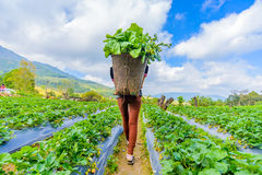 Woman carrying on the back some cabbage in basket. Woman carrying on the back some cabbage in strawberry field royalty free stock photography