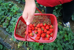 Woman with basket of strawberry. Woman carrying basket of fresh strawberry royalty free stock photos