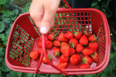 Woman with basket of strawberry. Woman carrying basket of fresh strawberry Stock Photos