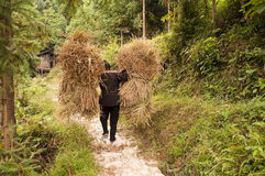 Woman carrying heavy loads of rice straw Stock Photography