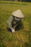 Woman carrying sheaves of rice. Stock Photography