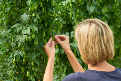 Woman checking hop cones in the field Royalty Free Stock Image