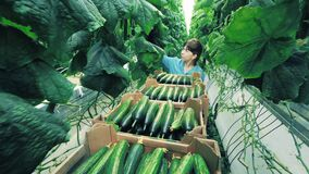 Woman checks cucumber plants while walking in greenhouse.