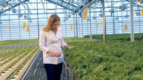 A woman checks lettuce plants, close up. Gardener looks at plants and touch them. stock video