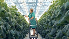 A woman checks plant leaves. Gardener examines cucumber leaves, while a machine carries her. stock video