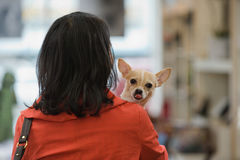 Woman with chihuahua Stock Image