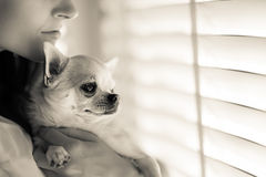 Woman and chihuahua Stock Photos