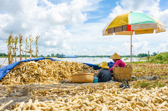 Woman and child is threshing corn by hand Royalty Free Stock Images