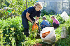 Woman with children harvesting carrots Royalty Free Stock Photo