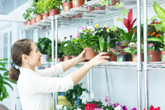 Woman chooses auricula  or  hyacinth Stock Photography