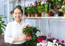 Woman chooses Cyclamen Stock Image