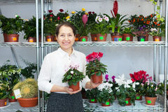 Woman chooses Cyclamen plant Stock Images