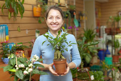 Woman chooses ficus plant (Bonsai) stock images
