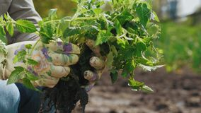 Woman chooses tomato seedlings for planting in the ground. Close-up hands: Woman chooses tomato seedlings for planting in the ground for growing tomatoes stock footage