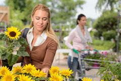 Woman choosing potted sunflower in garden center Stock Photos