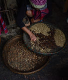 Woman choosing  raw coffee beans in Thailand. Woman choosing  raw coffee beans in  Chiangmai,Thailand Stock Image