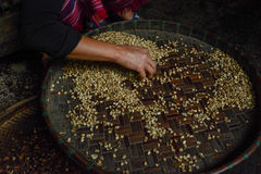 Woman choosing  raw coffee beans in Thailand. Woman choosing  raw coffee beans in  Chiangmai,Thailand Royalty Free Stock Photos