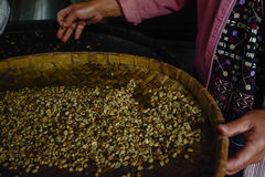 Woman choosing  raw coffee beans in Thailand. Woman choosing  raw coffee beans in  Chiangmai,Thailand Stock Photography